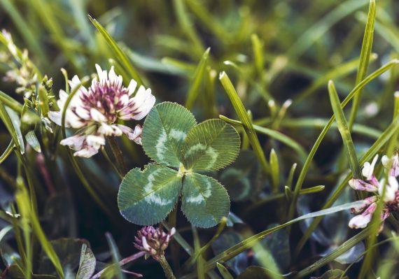 four leaf clover